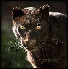 The black leopard