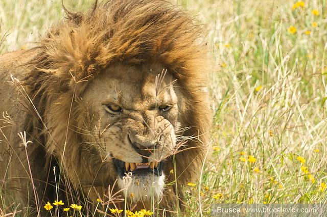 Male Lion - Ngorongoro