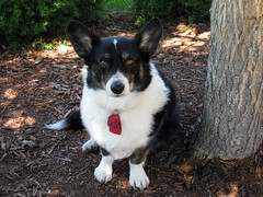 puppy(0.0), miniature australian shepherd(0.0), welsh corgi(0.0), border collie(1.0), dog breed(1.0), animal(1.0), lapponian herder(1.0), dog(1.0), pet(1.0), karelian bear dog(1.0), east siberian laika(1.0), carnivoran(1.0),