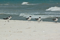 sea gull-0523
