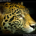 Junior the Jaguar, Belize Zoo (2)