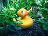 Duck by ♥ Jovas ♥ ツ