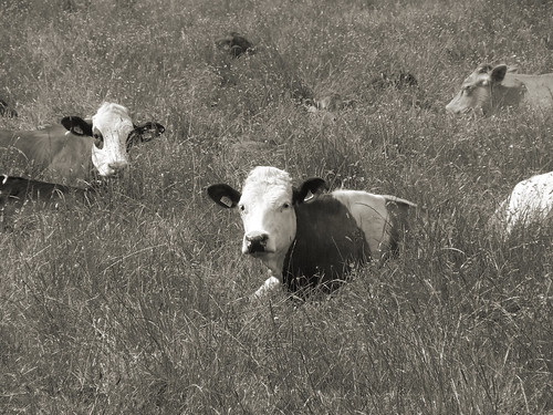 bw animals sepia cattle fields buttercrambe