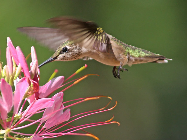 Hummingbird with a spider plant