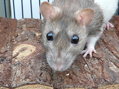 animal, rat, rodent, mouse, fauna, muroidea, degu, whiskers, pest, gerbil,