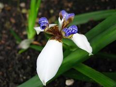 iris, flower, iris versicolor, macro photography, flora,