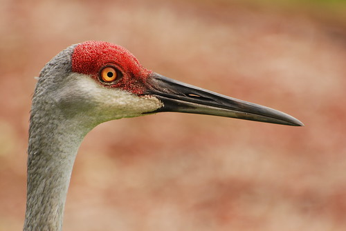 animal bird crane sandhillcrane gruscanadenis avian nature wildlife outdoors neighborhood colorful closeup feathers detail headshot plumage staring standing walking watching looking skittish onguard michaeldskelton michaelskelton michaeldskeltonphotography