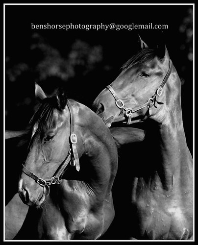 Yearling colts