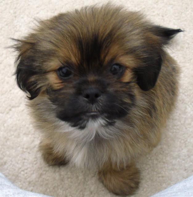 Shorkie puppy | Flickr - Photo Sharing!