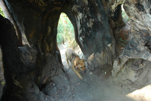 Rosie the puppy exploring a large tree cave in Carkeek Park, Seattle, Washington, USA by Wonderlane