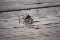 Unidentified species of crab on pier at Bennett's Creek Park