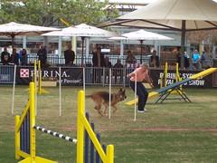 weight training(0.0), fair(0.0), dog sports(1.0), animal sports(1.0), sports(1.0), pet(1.0), dog agility(1.0), public space(1.0),