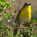 Yellow-breasted Chat - Photo (c) Maggie.Smith, some rights reserved (CC BY-NC)