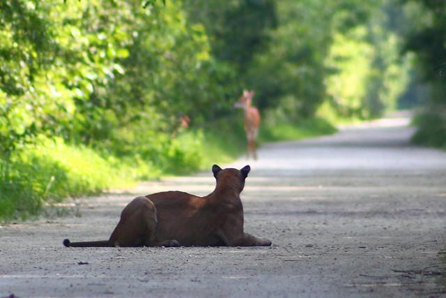 florida panther watching deer #2