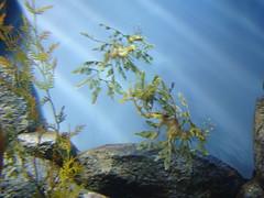 DSC01665-Leafy Sea Dragon