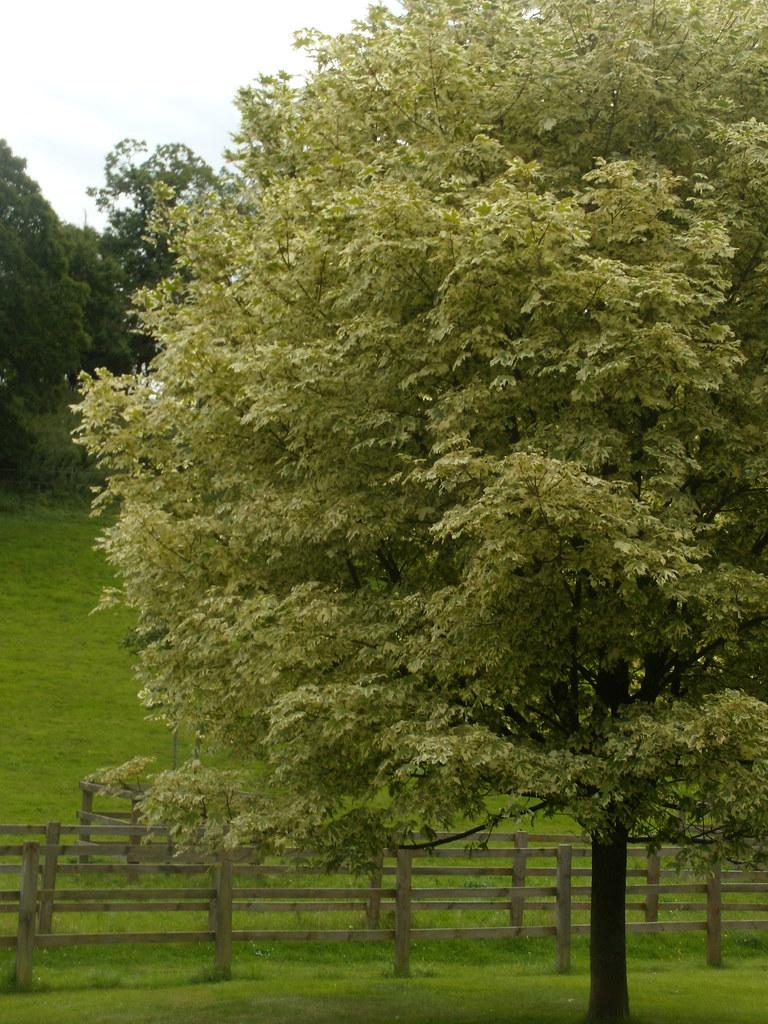 variegated maple Compton. Wanborough to Godalming