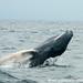 Playful Humpback Whale Kid - Puerto Lopez, Ecuador
