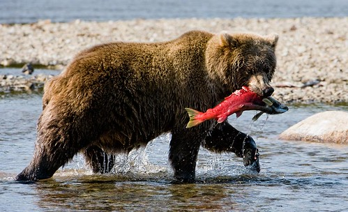 Brown Bear with Red Salmon