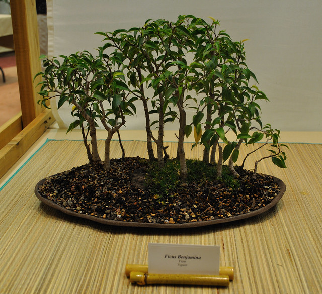 bonsai, plant, guide, ficus, elm