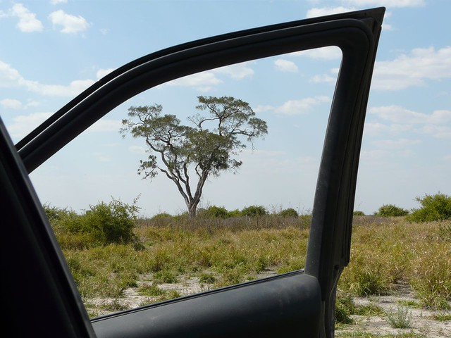 La acacia, árbol típico de la sabana africana
