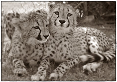 animal, snow leopard, big cats, cheetah, leopard, mammal, fauna, black-and-white,