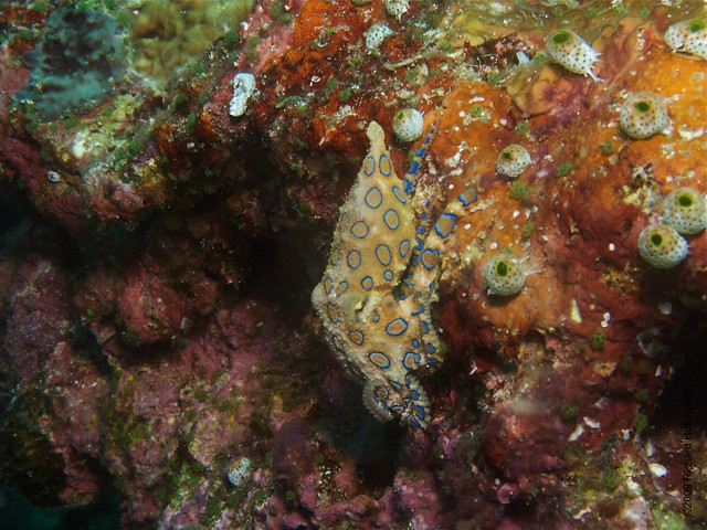 Greater Blue Ringed Octopus | Flickr - Photo Sharing!