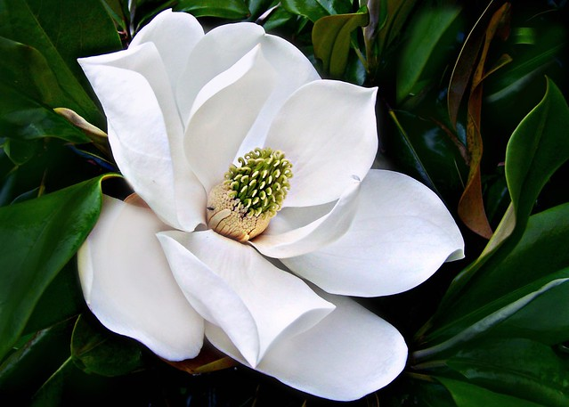 White flowering trees a gallery on flickr magnoliaceae magnolia grandiflora southern magnolia bull bay flower male phase mightylinksfo