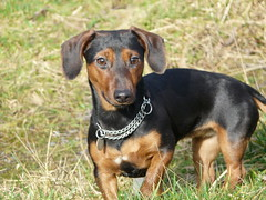 praå¾skã½ krysaå™ã­k(0.0), german pinscher(0.0), lancashire heeler(0.0), jagdterrier(0.0), transylvanian hound(0.0), austrian black and tan hound(0.0), serbian tricolour hound(0.0), black and tan coonhound(0.0), terrier(0.0), dog breed(1.0), animal(1.0), dog(1.0), manchester terrier(1.0), pet(1.0), finnish hound(1.0), miniature pinscher(1.0), pinscher(1.0), toy manchester terrier(1.0), english toy terrier(1.0), polish hunting dog(1.0), carnivoran(1.0),