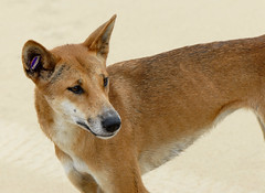 red wolf(0.0), dhole(0.0), dog breed(1.0), animal(1.0), dingo(1.0), dog(1.0), carolina dog(1.0), pet(1.0), mammal(1.0), fauna(1.0), finnish spitz(1.0), close-up(1.0), saarloos wolfdog(1.0), norwegian lundehund(1.0), basenji(1.0), wildlife(1.0),