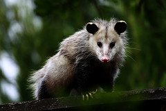 animal, opossum, virginia opossum, possum, common opossum, nature, mammal, fauna, close-up, whiskers, wildlife,
