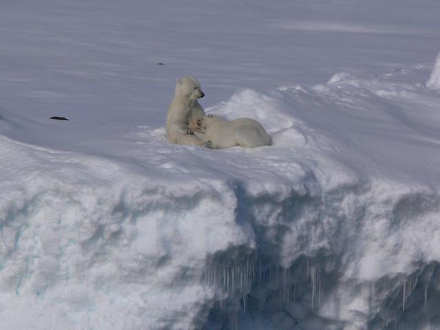 Polar Bear suckling Wahlenbergfjord