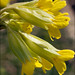 Cowslip - Photo (c) Amadej Trnkoczy, some rights reserved (CC BY-NC-SA)