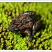 Common Eastern Froglet - Photo (c) teejaybee, some rights reserved (CC BY-NC-ND)