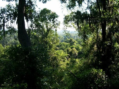 sky tree pine forest landscape moss oak woods view calhoun air hill scene foliage southern swamp vista ash cypress bluff hickory richland carya floodplain taxodium