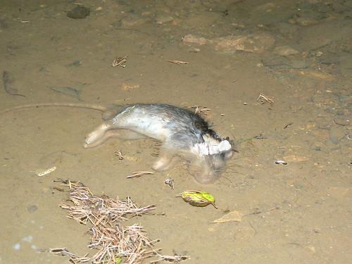 p tition italie non aux boulettes toxiques pour tuer les rats de l 39 le de montecristo animalus. Black Bedroom Furniture Sets. Home Design Ideas