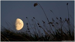Moon in the grasses