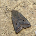 Small photo of [2263] Red-line Quaker (Agrochola lota)