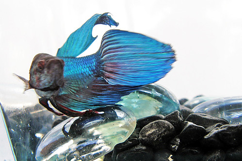 Betta s head changing color fish care for Betta fish colors
