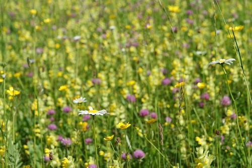 Blumenwiese im Gailtal