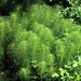 giant horsetail - Photo (c) randomtruth, some rights reserved (CC BY-NC-SA)