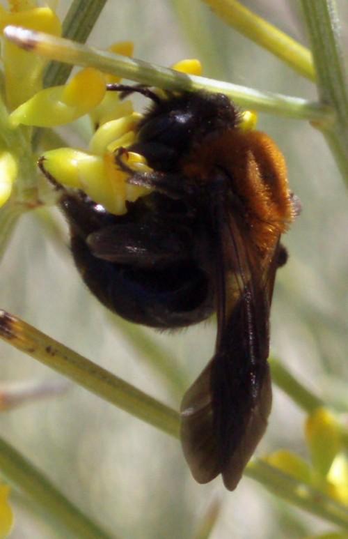 Andrena thoracica 3670795771_4383752d7b_o