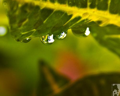 macro verde green canon bokeh guatemala drop refraction gota refraccion eos50d pal1970
