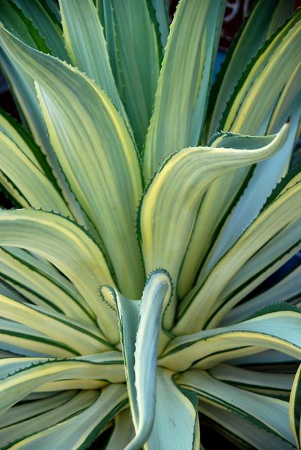 Agave desmetiana variegata cv. Joe Hoak