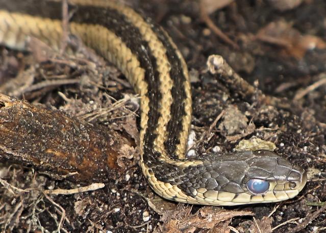 Blue Eyed Garter Snake Flickr Photo Sharing