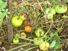 Late Blighted Tomatoes rot before rippening
