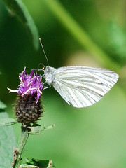 nectar(0.0), colias(0.0), petal(0.0), arthropod(1.0), pollinator(1.0), animal(1.0), moths and butterflies(1.0), butterfly(1.0), flower(1.0), nature(1.0), invertebrate(1.0), macro photography(1.0), flora(1.0), green(1.0), fauna(1.0), cabbage butterfly(1.0), close-up(1.0), plant stem(1.0),