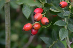shrub(0.0), berry(0.0), acerola(0.0), malpighia(0.0), plant(0.0), crataegus pinnatifida(0.0), produce(0.0), food(0.0), lingonberry(0.0), evergreen(1.0), flower(1.0), rosa rubiginosa(1.0), macro photography(1.0), rosa canina(1.0), flora(1.0), fruit(1.0), rose hip(1.0), hawthorn(1.0),