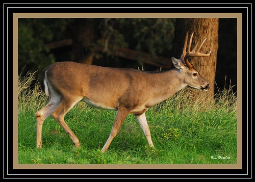 Whitetail Deer - Buck