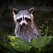 Backyard Bandit by As eye see it now