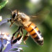 Honey Bees, Bumble Bees, and Allies - Photo (c) Michael Rosenberg, some rights reserved (CC BY-NC)